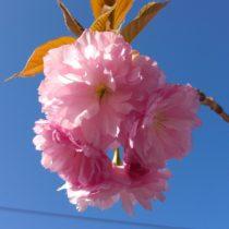 Prinzessinenbaum